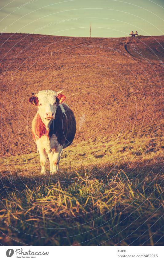 Bullaugenschönguggn Himmel Natur alt Tier Umwelt Gesunde Ernährung Wärme Wiese Horizont Feld Landwirtschaft Weide Zaun Tiergesicht tierisch Kuh