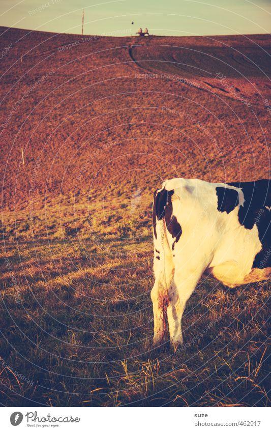 Hinterschinken Ferne Umwelt Natur Landschaft Tier Himmel Horizont Sommer Wiese Feld Nutztier Kuh 1 stehen authentisch Wärme braun Landleben