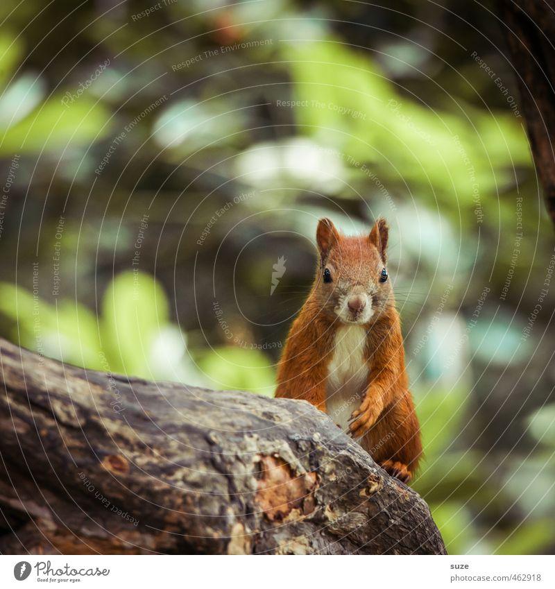 Stammplatz Umwelt Natur Pflanze Tier Baum Fell Wildtier Tiergesicht 1 sitzen klein natürlich Neugier niedlich braun grün rot Eichhörnchen Nagetiere Ast