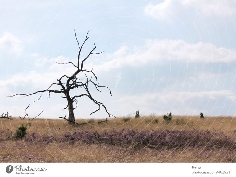 Einzelkämpfer... Umwelt Natur Landschaft Pflanze Himmel Wolken Herbst Schönes Wetter Baum Blume Gras Heidekrautgewächse Lüneburger Heide alt stehen Wachstum