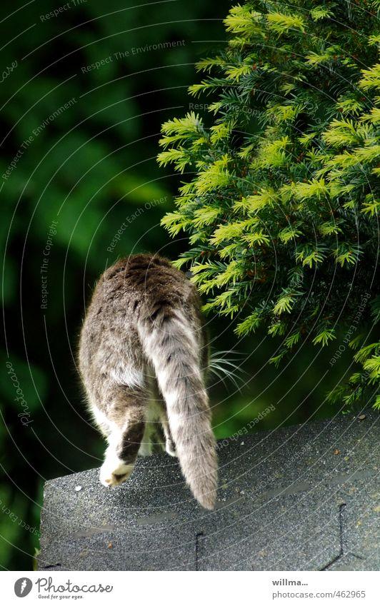Katzenjammer? Haustier Hauskatze Schwanz 1 Tier grau Tigerfellmuster verstecken gehen springen Teerpappe Dach Sträucher Konifere Hinterteil Rückansicht laufen