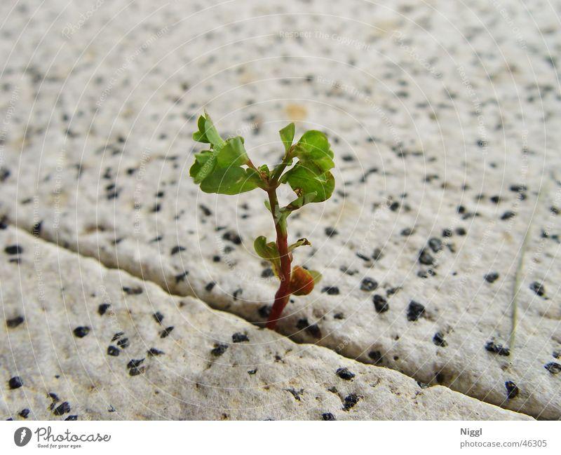 Kraft der Natur grün Pflanze Stein Wachstum Furche brechen Jungpflanze Steinboden