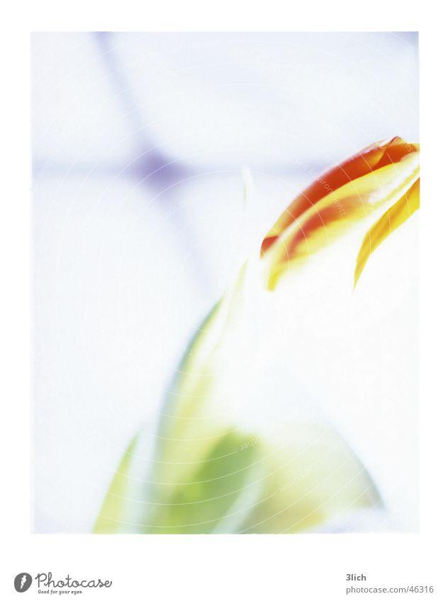 Tulpe Blume Blüte Pflanze Frühling Fenster Sonne Überstrahlung Sprossenfenster grün weiß Blühend Schatten orange blau