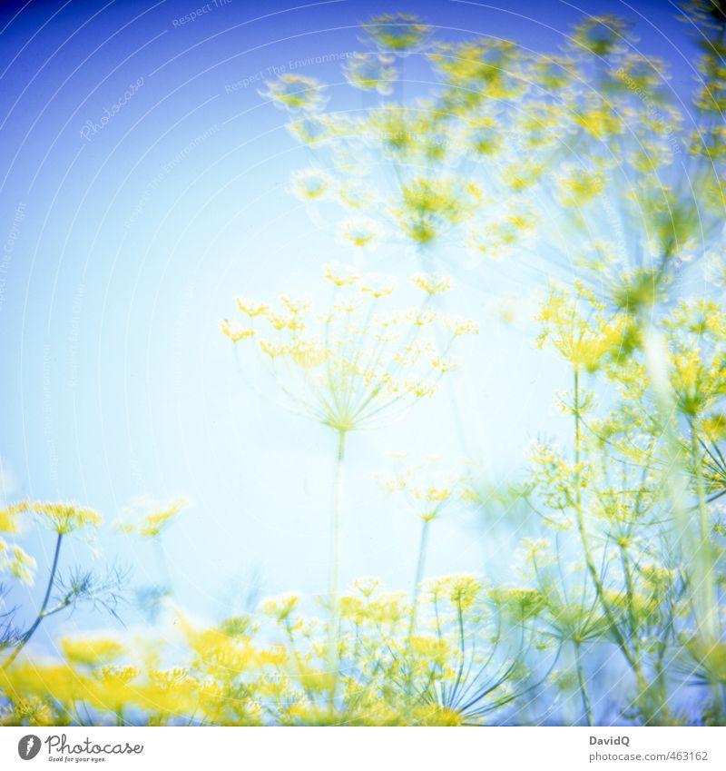 supernova Umwelt Natur Pflanze Sommer Nutzpflanze Dill Dillblüten Garten fantastisch blau gelb Farbe Farbfoto Außenaufnahme Detailaufnahme abstrakt