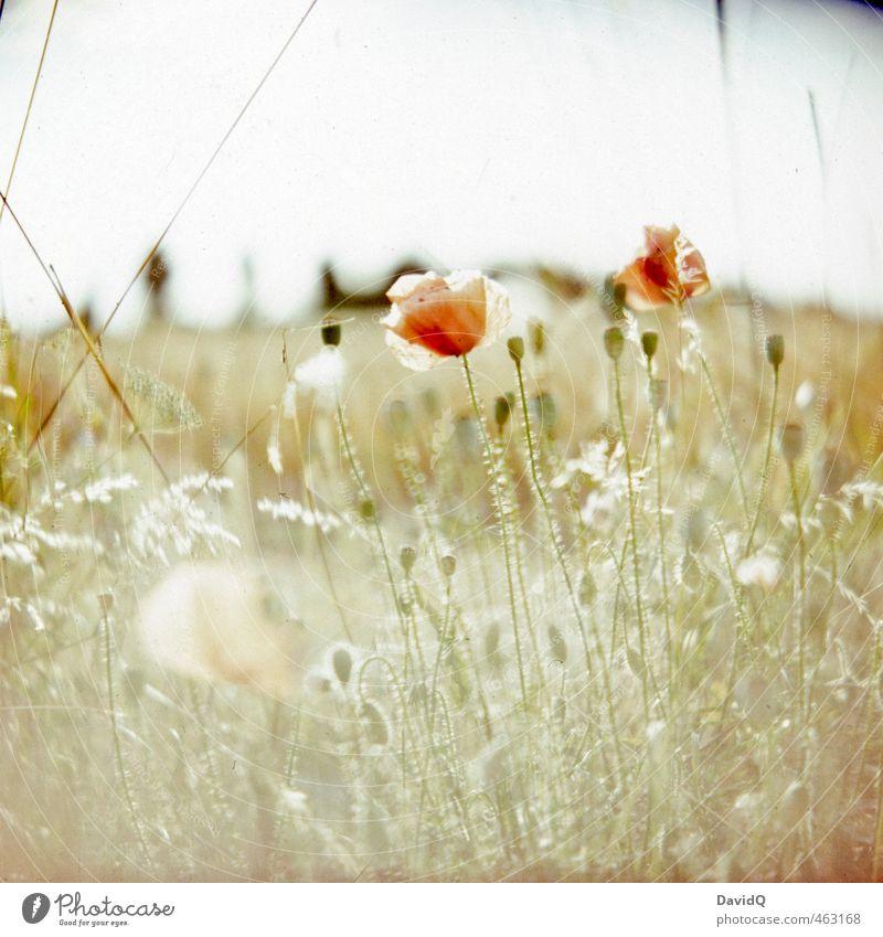 Sommertag Natur schön Pflanze Blume Umwelt Glück Feld frisch ästhetisch Mohn Leichtigkeit Wildpflanze Mohnblüte