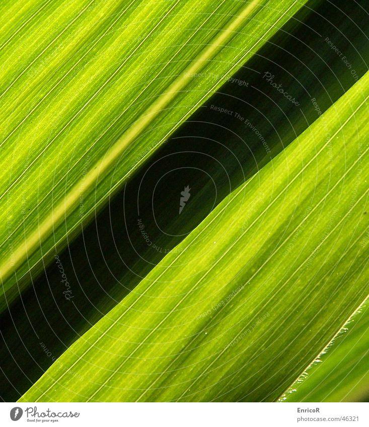 Mais im Gegenlicht Sonne grün schwarz diagonal Mais