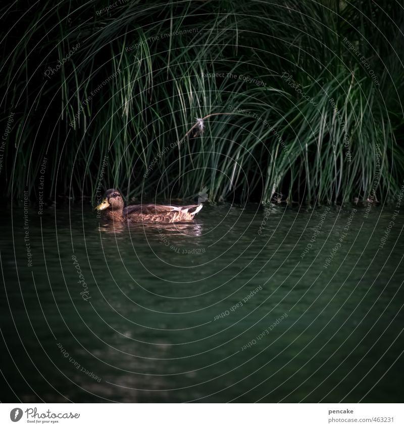 alles quack Wasser Tier dunkel Gras Park Wildtier Sträucher Schilfrohr Ente Teich dunkelgrün Stockente