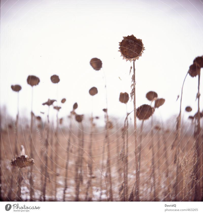 bleiben bis zum Ende Umwelt Natur Landschaft Pflanze Himmel Winter Schnee Sonnenblume Feld alt dunkel stark braun Hoffnung Traurigkeit Trauer Tod Müdigkeit