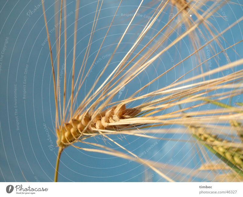 Getreide im Wind Gerste Weizen Pflanze Ernährung Lebensmittel spreizen Korn nah Feld Himmel blau Natur naturfarben Perspektive Makroaufnahme Detailaufnahme