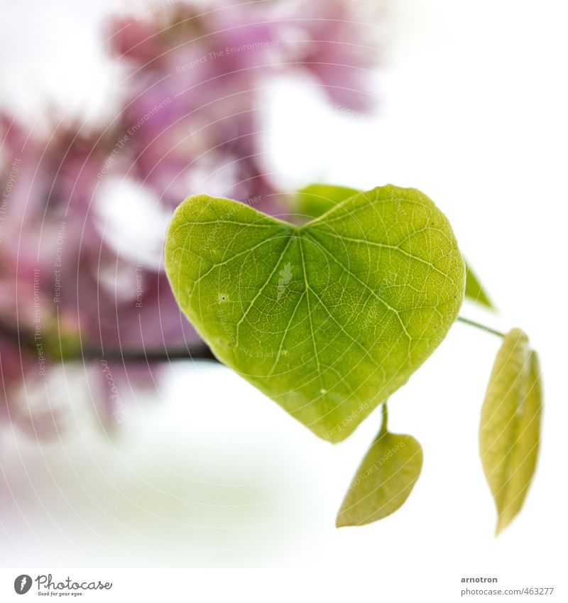 Judasbaum - IGS2013 Natur grün Blatt Blüte Glück rosa Park träumen Herz exotisch Frühlingsgefühle