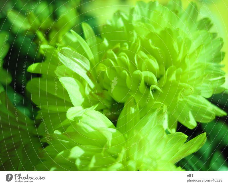 Blumentraum Natur Blume grün Pflanze Garten Blütenknospen