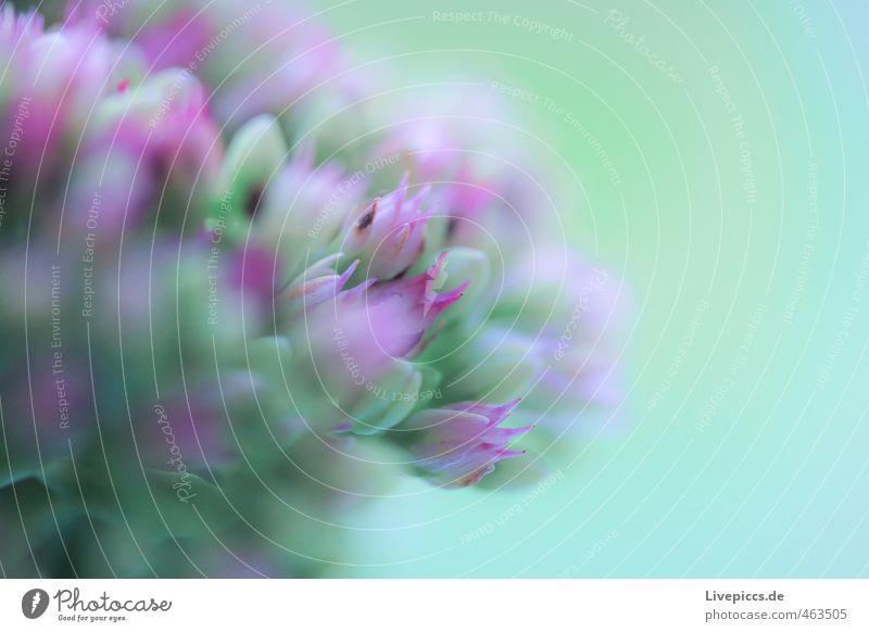 Mama´s Garten Umwelt Natur Pflanze Blume Blatt Blüte Nutzpflanze Blühend Duft elegant frisch hell schön natürlich grün rosa Farbfoto Gedeckte Farben
