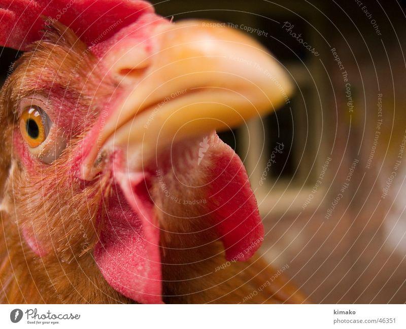My chicken friend rot Tier Auge Kopf Vogel Bauernhof eng Haushuhn Mexiko