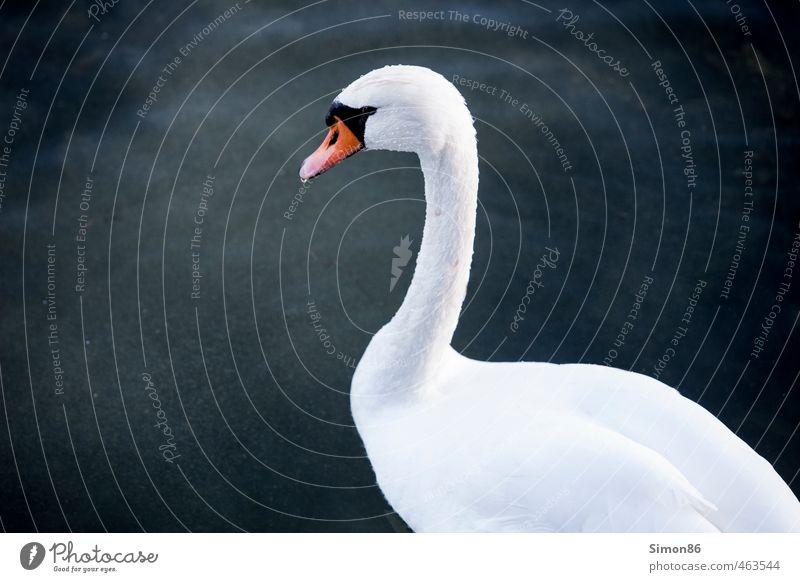 weiße Weste Umwelt Natur Wasser Wassertropfen Herbst See Tier Wildtier Vogel 1 beobachten Schwimmen & Baden ästhetisch außergewöhnlich Sauberkeit
