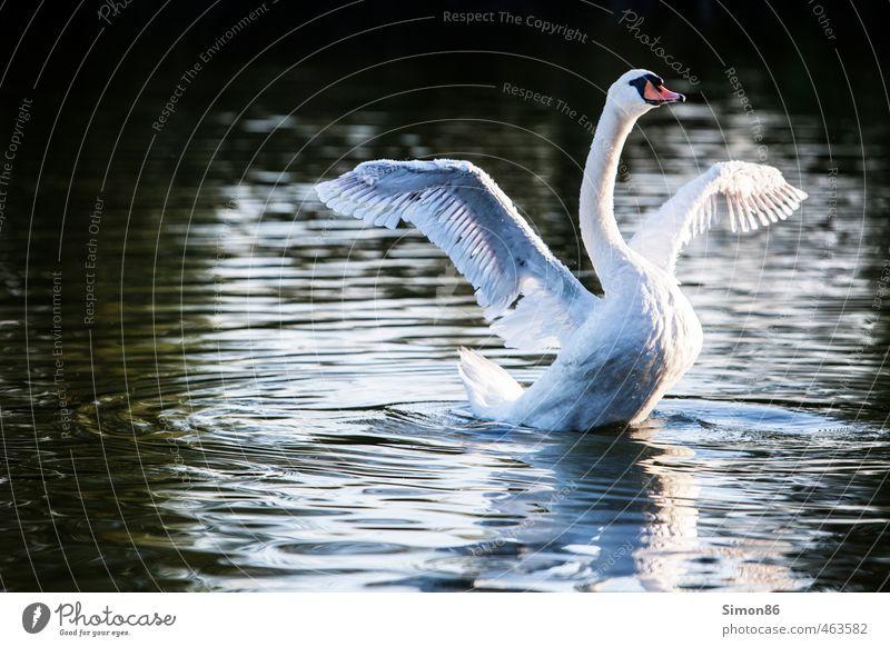 Spannweite Natur schön Wasser weiß Einsamkeit Tier Herbst Bewegung Vogel Kraft elegant Zufriedenheit Wildtier Schönes Wetter ästhetisch Feder