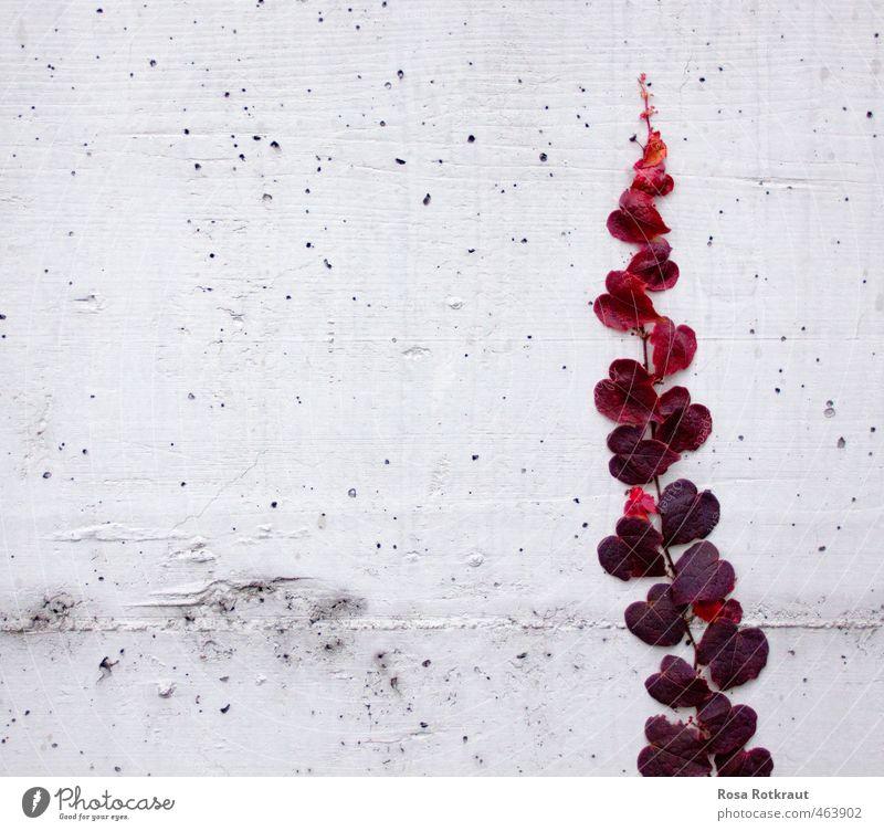 Herbstliebe Pflanze schön weiß rot Blatt Umwelt Wand Liebe Gefühle Mauer Garten Park Zufriedenheit dreckig elegant