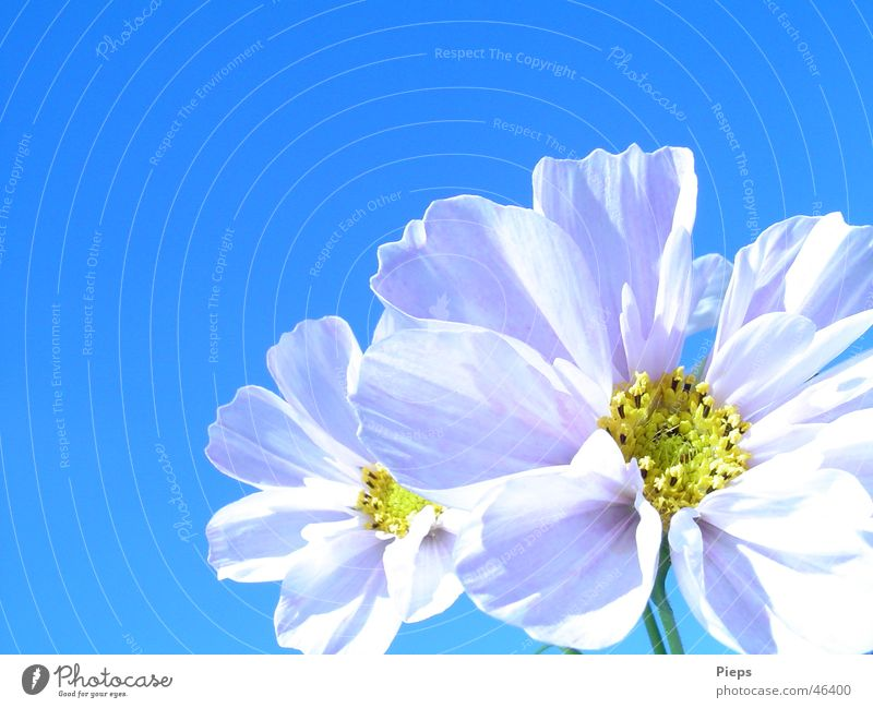 Insektenlandeplatz Natur Himmel weiß Blume Pflanze Sommer Blüte Fröhlichkeit Blühend Schmuckkörbchen