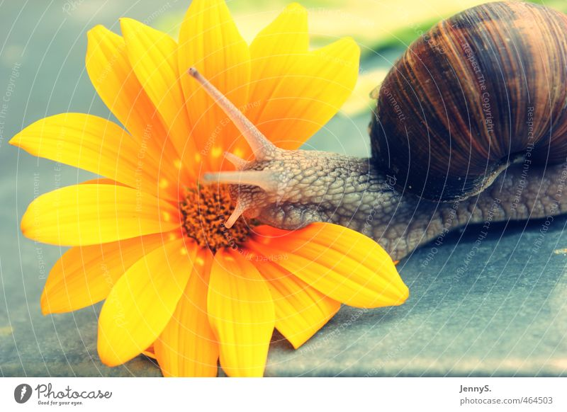 ganz langsam Natur schön Pflanze Blume Tier gelb Umwelt Blüte Stein natürlich Warmherzigkeit Mobilität exotisch Schnecke Frühlingsgefühle schleimig