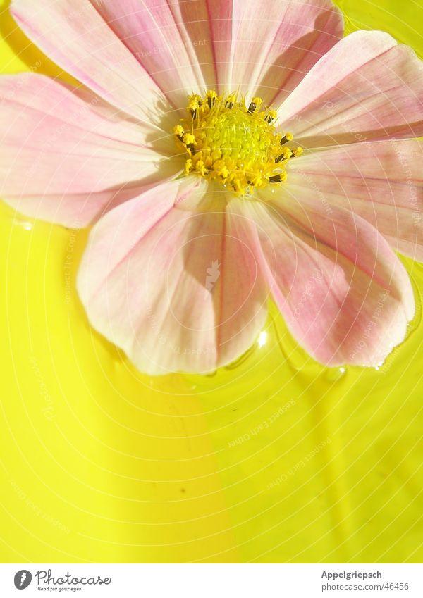 ein Blümelein Blume rosa gelb Sommer Blüte Wasser