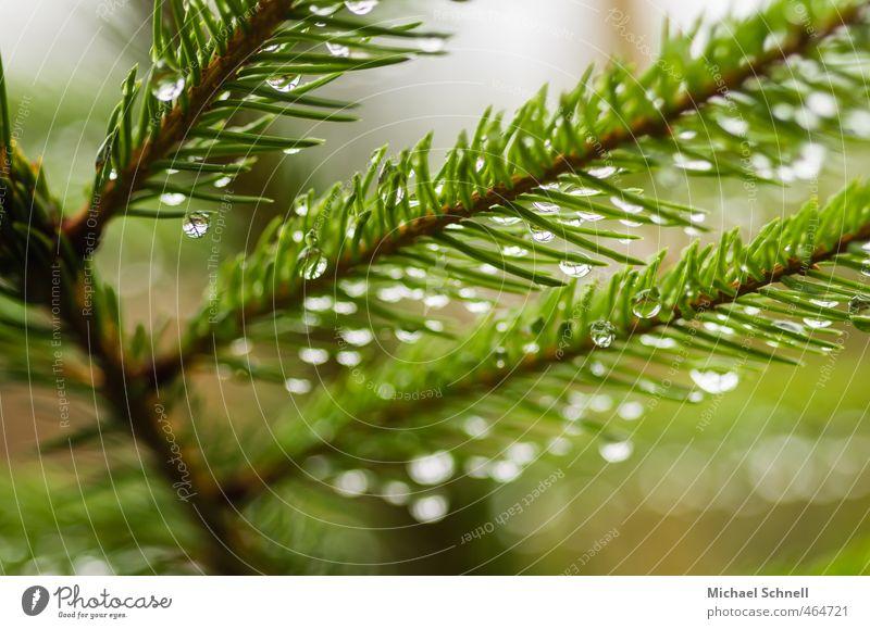 Regen Pflanze Baum Tanne Nadelbaum Tannennadel Wald nass stachelig grün Wassertropfen Farbfoto Außenaufnahme Menschenleer Tag Schwache Tiefenschärfe