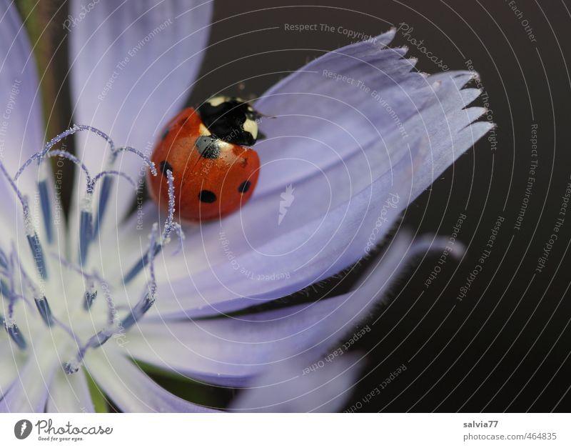 Streicheleinheit Sommer Pflanze Tier Blume Wildpflanze Wildtier Käfer 1 berühren Blühend Duft krabbeln sitzen glänzend blau rot schwarz schön Farbe Natur