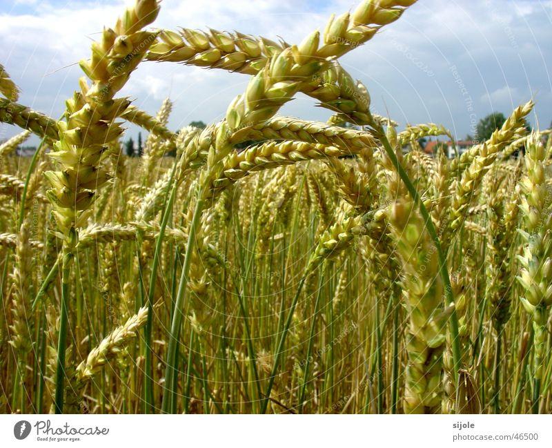 Getreide Korn Halm Weizen unreif gelb grün Feld