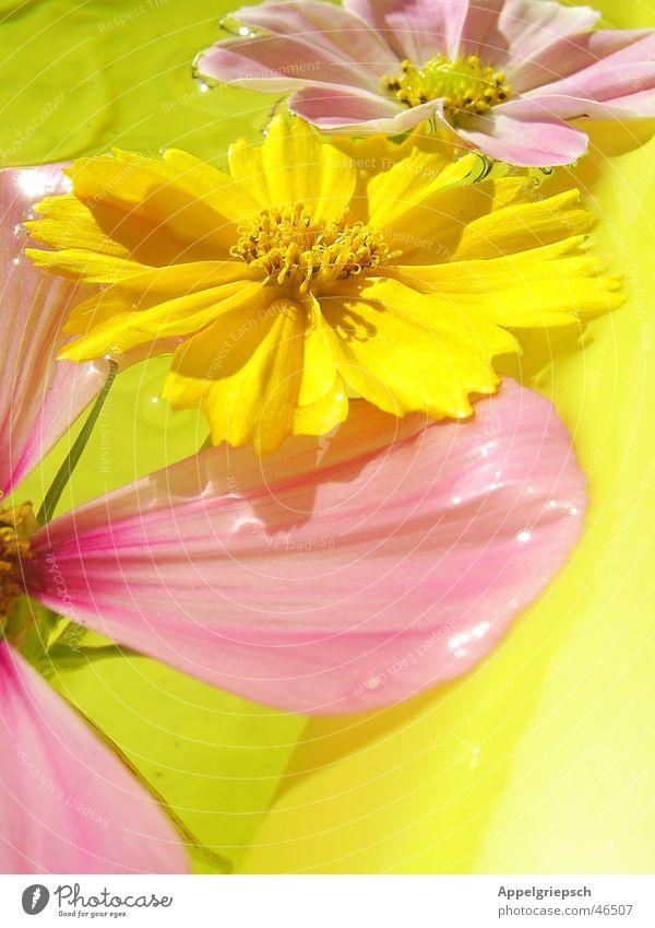 drei Blümelein 3 Blume Sommer gelb rosa Blüte Wasser Sonne