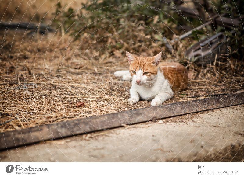 kleiner kroate Katze schön weiß Tier braun wild Haustier Tierliebe