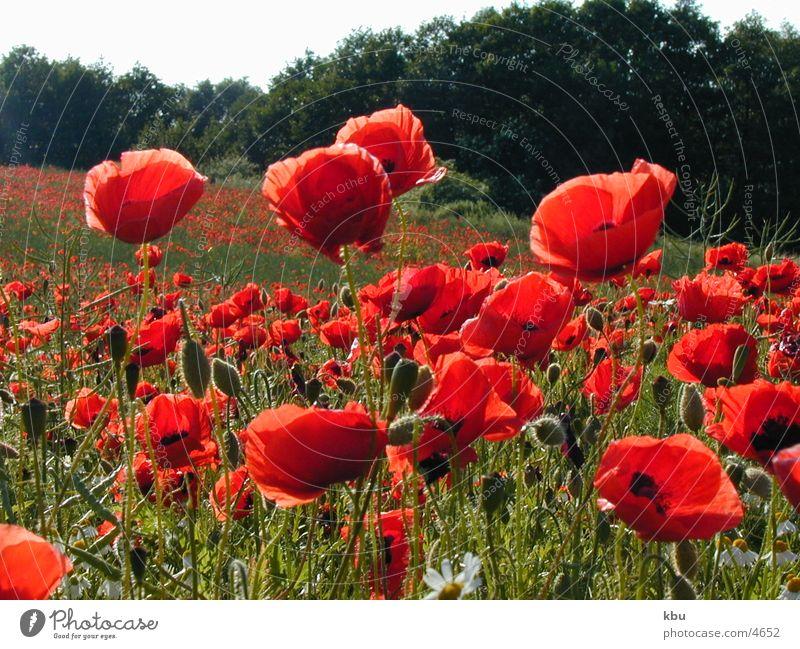 Mohnblumen rot Feld