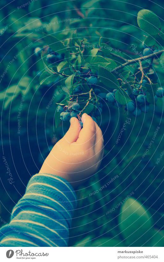 kind pflückt heidelbeeren Kind Natur Hand Landschaft Freude Essen Garten Lebensmittel maskulin Frucht Kindheit Sträucher Finger Ernte Kleinkind Sammlung