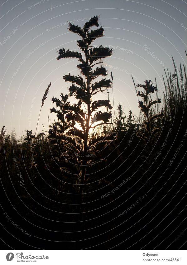 Sunset Silhouette Gras