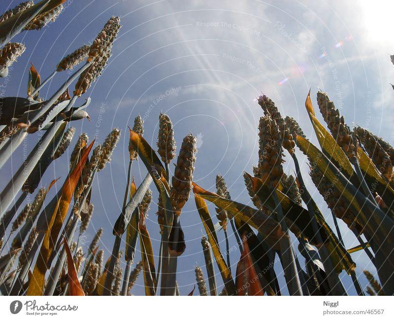 Getreide Himmel blau Pflanze Feld Weizen Ähren Mehl Feldfrüchte