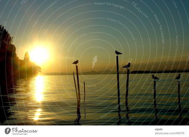Vögel im Sonnenschein Vogel See Sonnenuntergang Insel Reichenau Sommer gelb Bodensee Pfosten möven Himmel blau