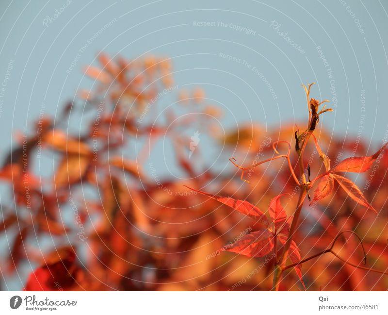 Wilde Rebe Natur Himmel blau rot Garten Abendsonne