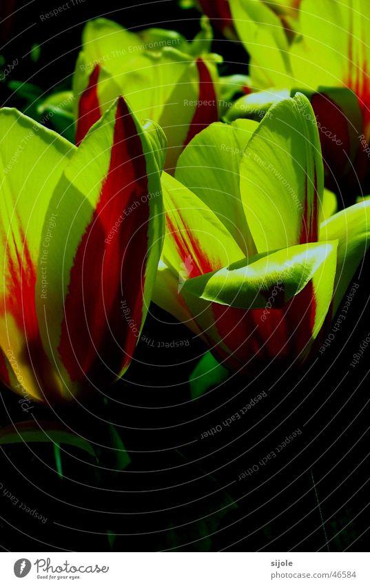 Tulpen Blume grün rot gelb Beet