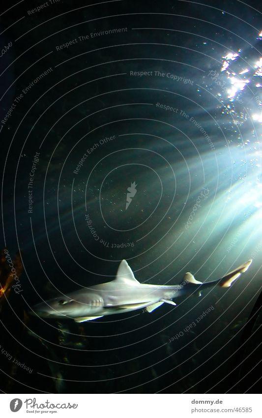 Hai Haifisch Lebewesen grün schwarz grau gefährlich Schwanz Licht Wasser Leben bedrohlich König Auge Schwimmhilfe Strahlung Schwimmen & Baden