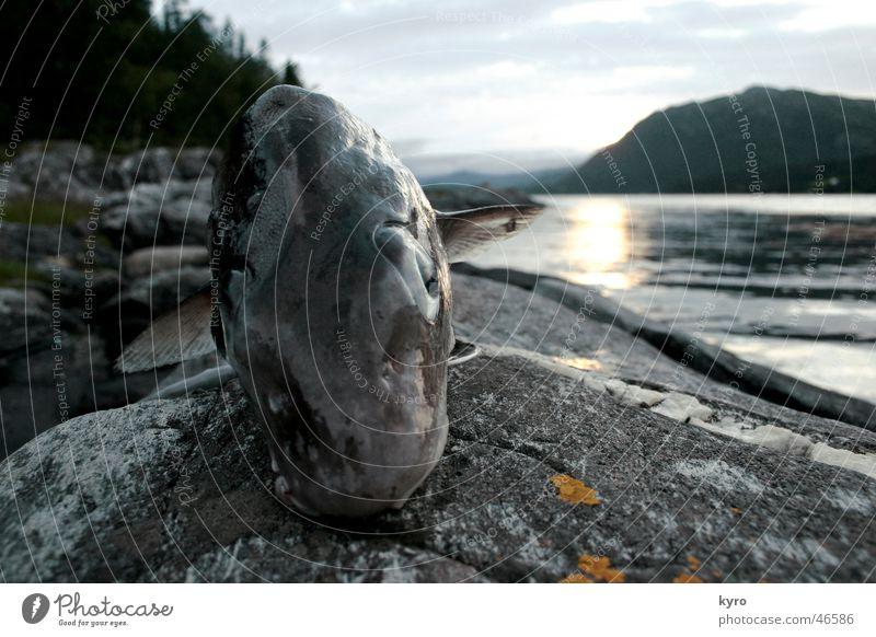 just the happy fish nah Norwegen Baum Angeln Sonnenuntergang Ironie Fisch Auge Wasser Fjord Schwimmhilfe Berge u. Gebirge Felsen Stein Küste Blick Ernährung