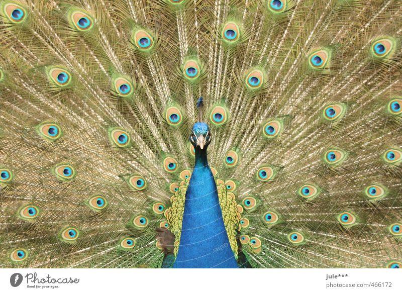 Schau mir in die Augen, Kleines Tier Taube Zoo Pfau Pfauenfeder 1 Brunft Ferien & Urlaub & Reisen ästhetisch exotisch blau mehrfarbig gelb gold grün Konkurrenz