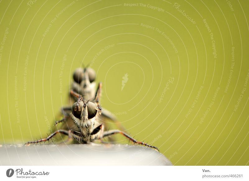 Voyeur Natur Tier Wildtier Fliege Biene Tiergesicht Insekt 2 grün Fortpflanzung Farbfoto Gedeckte Farben Außenaufnahme Nahaufnahme Makroaufnahme Menschenleer