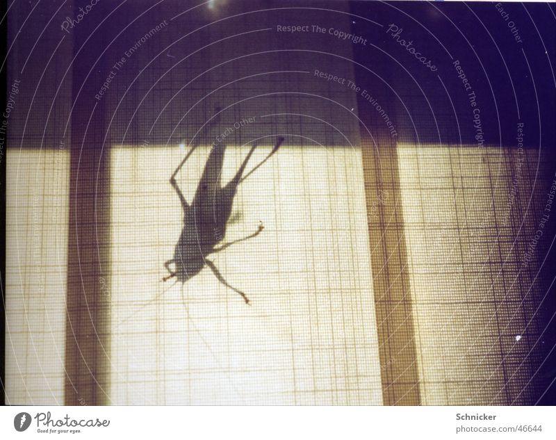Riesen Heuschrecke Tier Insekt Schatten