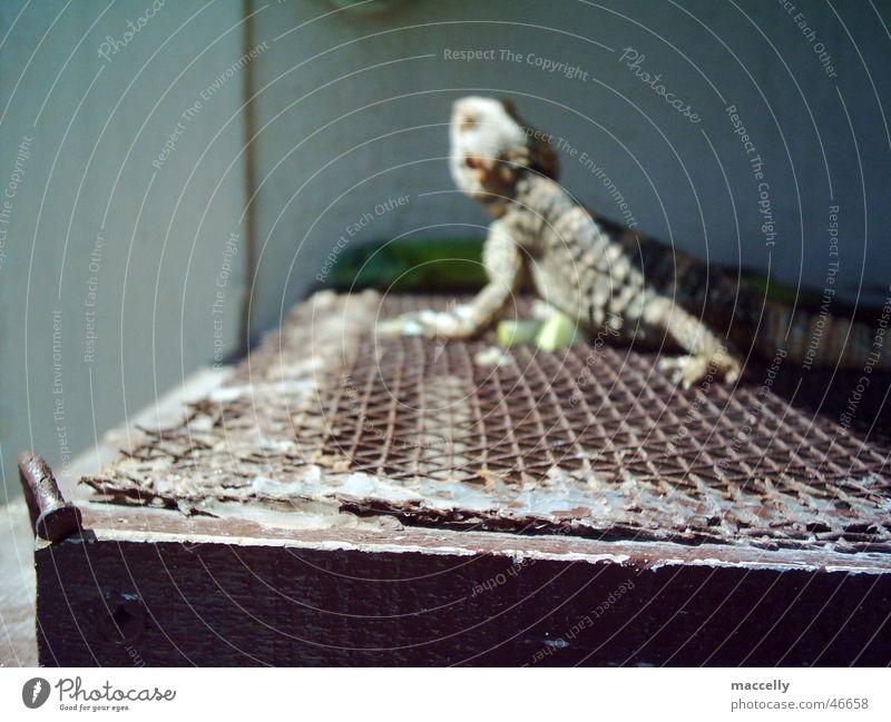 Little Godzilla Reptil Lurch grün braun Drache Gecko Warane gefangen Gitter Kreta Griechenland Zoo Gehege Halbschatten eng Außenaufnahme geschuppt