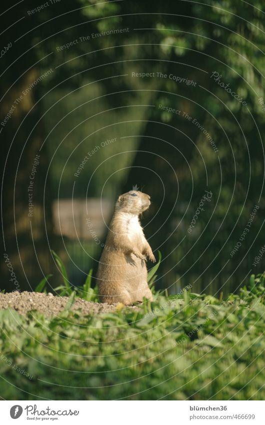 Wo bleibt denn die Wachablösung? Tier klein natürlich braun Wildtier stehen niedlich beobachten Freundlichkeit Neugier Fell Tiergesicht hören Wachsamkeit