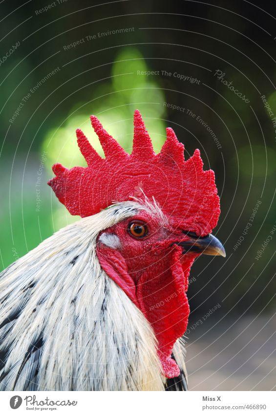 Sieht rot Tier Nutztier Vogel 1 Blick Hahn Hahnenkamm Haushuhn Freilandhaltung Tierhaltung Landwirtschaft Geflügelfarm Stolz Farbfoto mehrfarbig Außenaufnahme