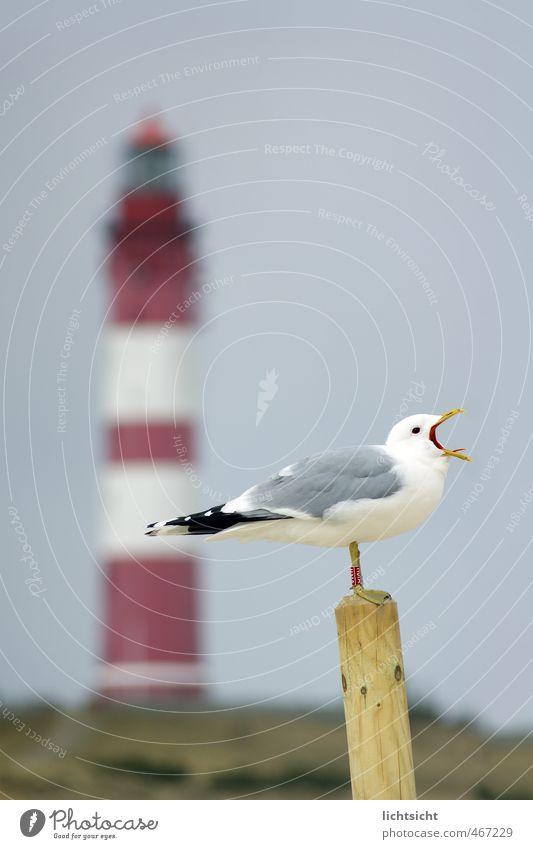 """""""Laaaah!"""" Natur Landschaft Wolkenloser Himmel Frühling Sommer Herbst Schönes Wetter Hügel Küste Nordsee Meer Insel Leuchtturm Vogel 1 Tier schreien Amrum"""