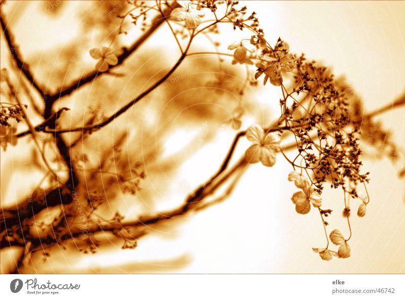 herbst Pflanze Hortensie Herbst Blume Blüte Botanik Kletterpflanzen pflanzenausschnitt Natur