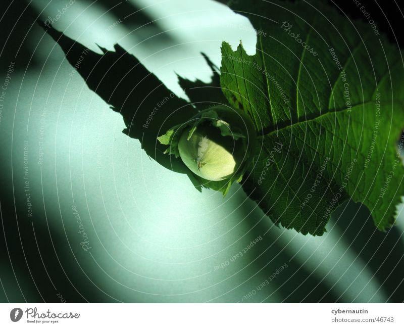 Nuss grün Blatt Schattenspiel Haselnuss unreif
