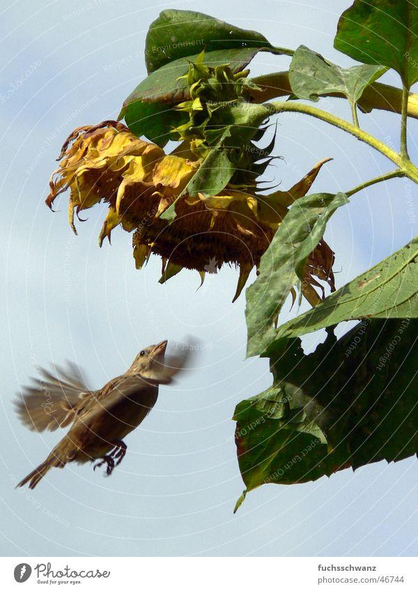 spatz Blume Vogel fliegen Sonnenblume Spatz