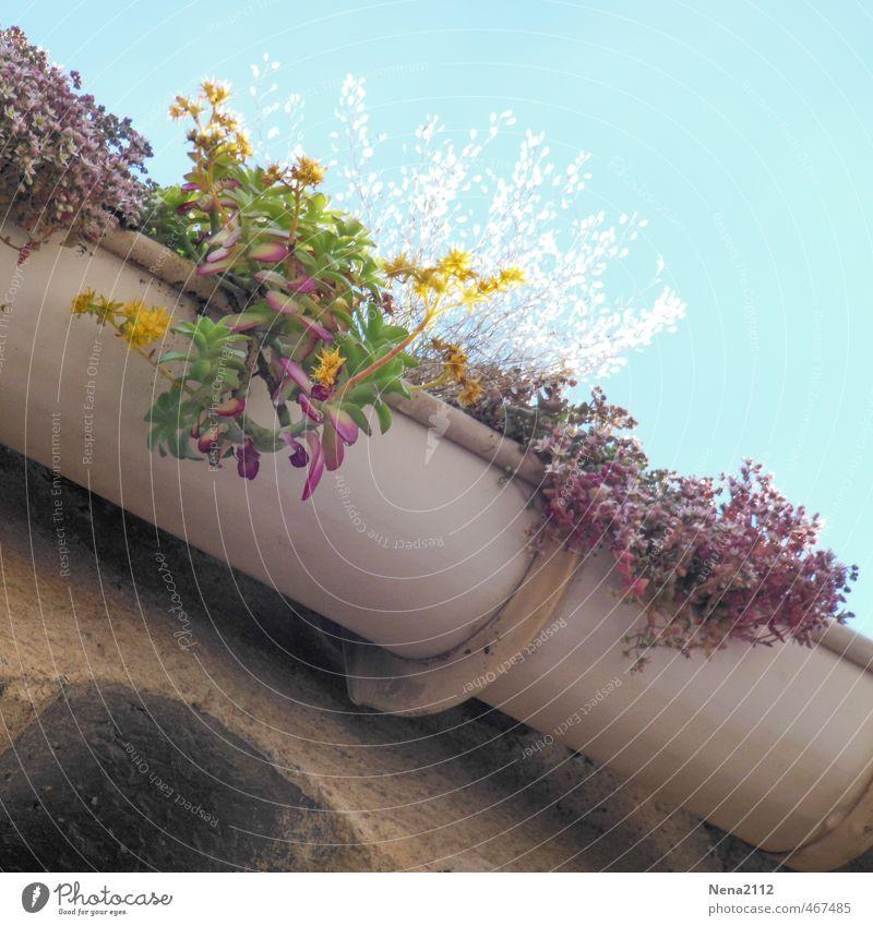 Spanische Blumenkasten Natur Pflanze Nutzpflanze Wildpflanze Topfpflanze Haus Mauer Wand Fassade Dach Dachrinne verrückt wild Regenwasser Farbfoto Außenaufnahme