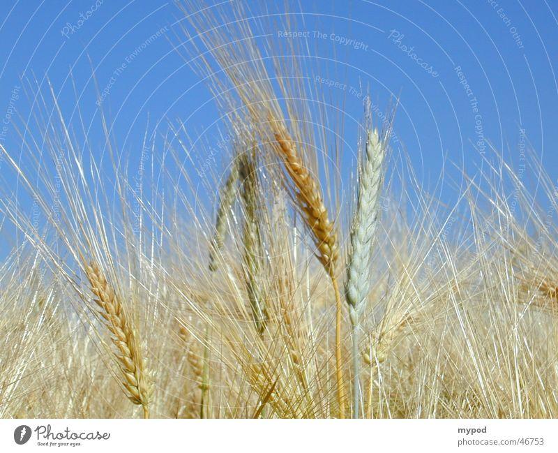 Getreidefeld Himmel gelb Feld Ähren Gerste