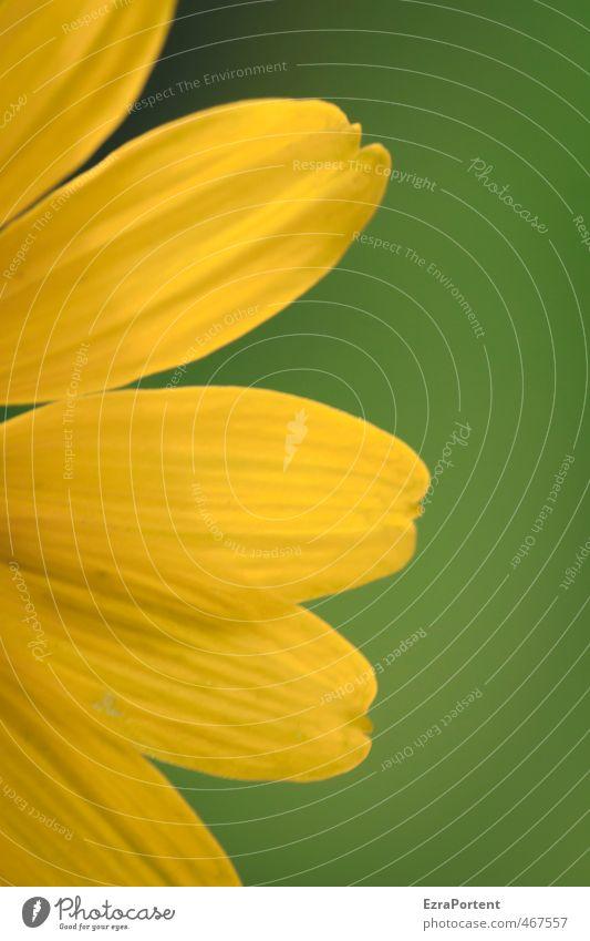 grün gelbe Koalition Umwelt Natur Landschaft Pflanze Frühling Sommer Herbst Blume Blüte Garten Blühend natürlich schön Astern Blütenblatt Floristik Stauden